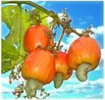 """""""<a href=""""http://commons.wikimedia.org/wiki/File:Cashew_Apple.jpg#mediaviewer/File:Cashew_Apple.jpg"""">Cashew Apple</a>"""" by chonticha w. – O-greenic international co., ltd.. Licensed under Attribution via <a href=""""//commons.wikimedia.org/wiki/"""">Wikimedia Commons</a>."""